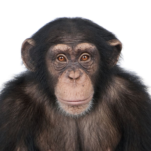 Chimpanzee Face | www.pixshark.com - Images Galleries With ...